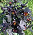 Black Pearl Hot Pepper - 4 Plants - Ornamental/Edible - The Hottest Pearl Pepper