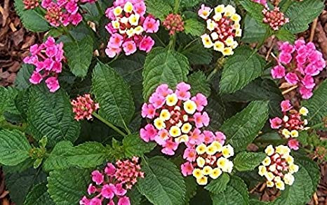 Amazoncom Lantana Bandana Rose Ground Cover Multi Color 3