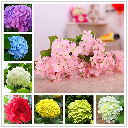 Live Plants Flower Plant Hydrangea 20pcs/Bag Hydrangea Plantas Mix Colors Bonsai Flower Plants Beautiful Flower, Plant for Home Garden (Mix Color)