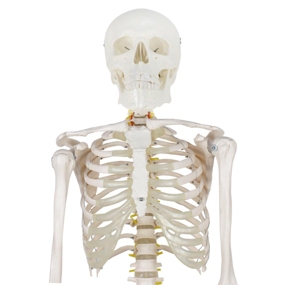 Zeny Life Size 708 Human Skeleton Model Medical Anatomical With