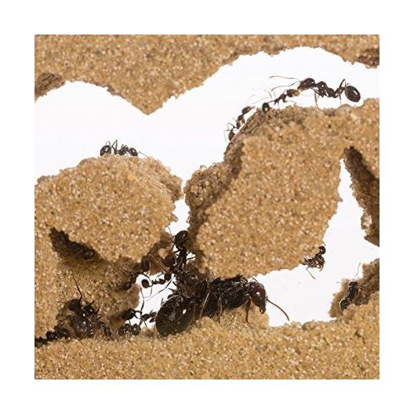 AntHouse - Formicaio Naturale di Sabbia - Kit Inizio Acrilico 20x10x10 cm (Formiche Incluse con Regina) 4 spesavip
