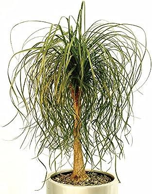 b2b982b550f Amazon.com   Ponytail Palm 15 Seeds - Beaucarnea   Garden   Outdoor