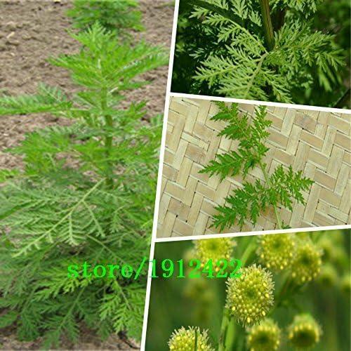 Nuevo Hogar Jardín de Plantas 100 Semillas Semillas Artemisia ...