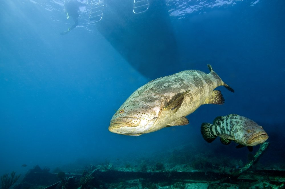 Posterazzi A pair of Goliath Groupers gather around a dive boat off the coast of Key Largo Florida Poster Print (34 x 22) by Posterazzi