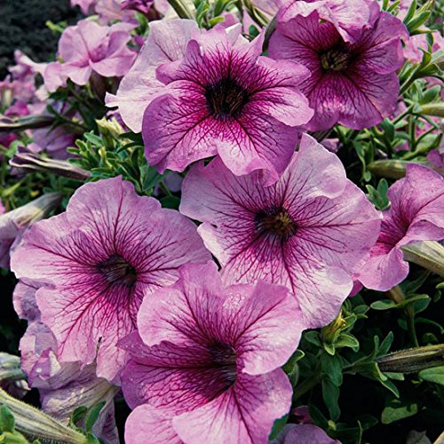 50 Orchid Daddy Petunia Seeds