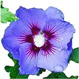 Amazoncom Blue Chiffon Tm Hibiscus Syriacus Notwoodthree Rose