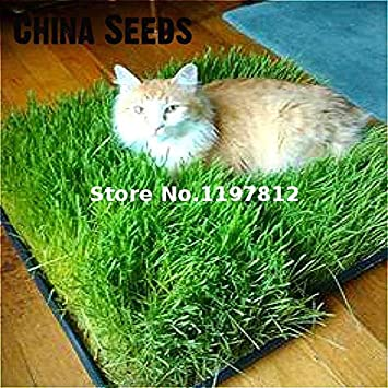 Gato Semilla de hierba Semilla de hierba Comer gatitos Alrededor de 200 partículas Bonsai Cuidado de la salud Hierba Semillas de plantas Raras Gatden Contrareembolso: Amazon.es: Jardín