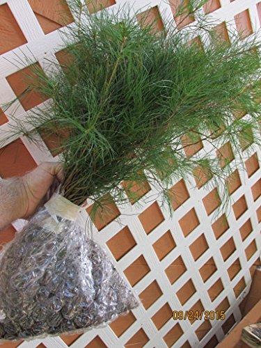 15 Planting White Pine Sapling Trees 12inch Evergreen seedling transplants #STX4