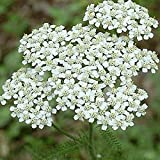 Everwilde Farms - 1 Lb White Yarrow Native Wildflower Seeds - Gold Vault offers