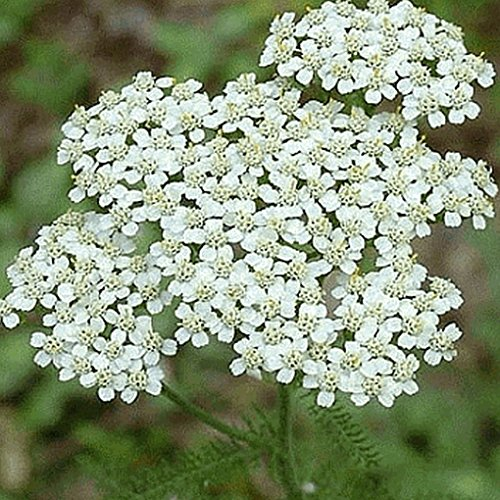 Everwilde Farms - 2000 White Yarrow Native Wildflower Seeds - Gold Vault Jumbo Seed - Yarrow Gold