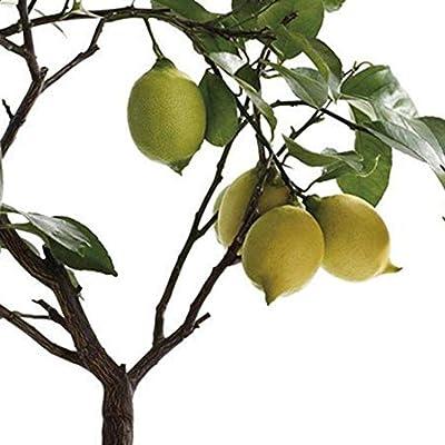 discountstore145 50Pcs Organic Lemon Tree Fruit Seeds Ornamental Plant Garden Yard Bonsai Decor - Lemon Tree Seeds : Garden & Outdoor