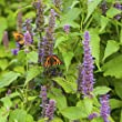 Outsidepride Anise Hyssop Herb Plant 3