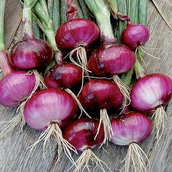 Creine 100 piezas de semillas de cebolla roja f/áciles de almacenar Semillas de verduras
