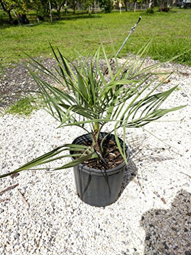 Pindo Palm Tree - Butia capitata, Cocos Australis, Pindo Palm, Wine Palm, Jelly Palm - 3 Gallon Live Plant