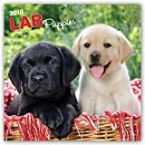 Labrador Retriever Puppies 2018 12 x 12 Inch Monthly Square Wall Calendar, Animals Dog Breeds Retriever Puppies Canine