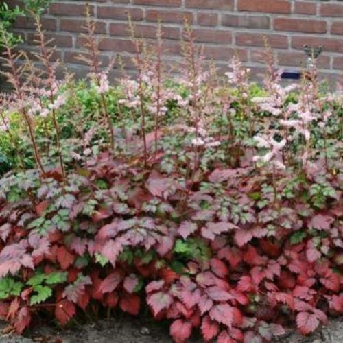 astilbe COLOR FLASH red leaf false spirea fragrant 2