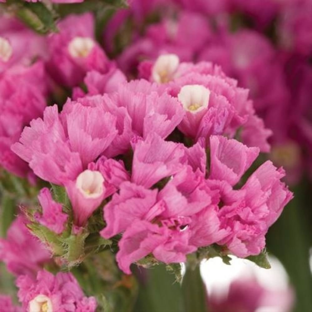 Amazon 50 Pink Statice Flower Seeds Garden Outdoor