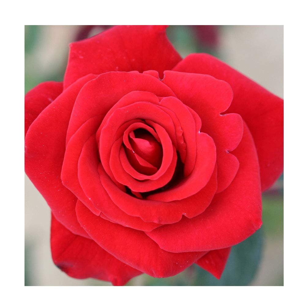 Rosa Bush Rose Hybrid Tea Happy Ruby Wedding Plant