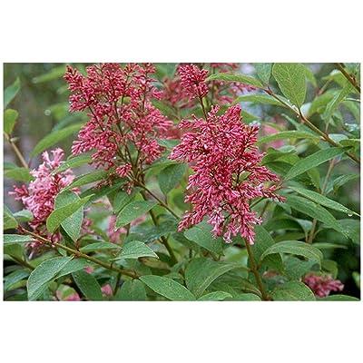 James MacFarlane Lilac Syringa Prest 1 Gallon Plant #GWS03 : Garden & Outdoor