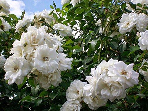 white Climber (1 Plant) Border, Cut Flowers,Ornamental, Outdoor, ()