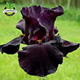New Arrival! Black Tall Bearded flag Iris, perennial garden flower , rare color , heat resistant, attractive ,5 pcs