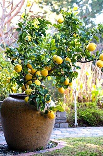 Organic Lemon (10 Lemon Tree Seed) Can grow indoor or outdoor