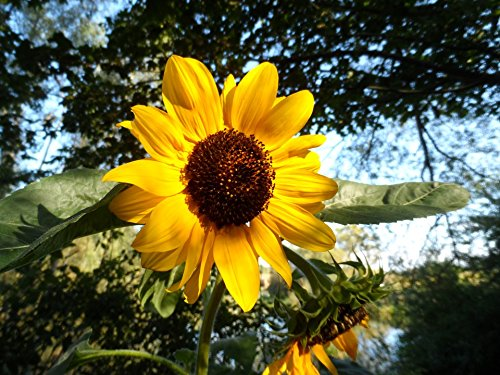 Home Comforts Canvas Print Late Summer Flower Yellow Sun Flower Stretched Canvas 10 x 14