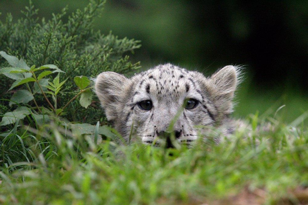 Leopard Cub 36 x 54 Giclee Print LANT-49415-36x54 36 x 54 Giclee Print  B017EA7YAW