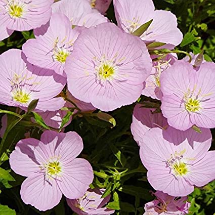 Amazon Showy Evening Primrose Seeds Packet Pinkwhite