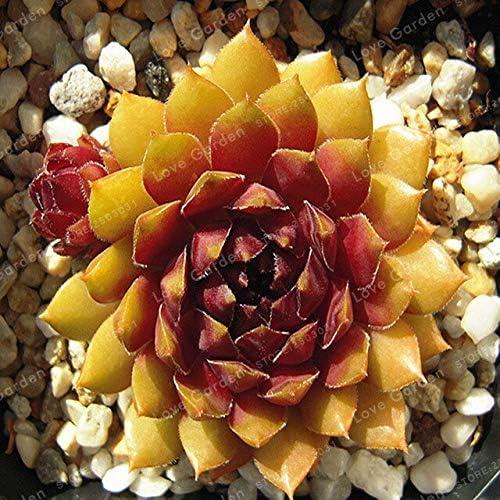 100 Unids Increíbles Sempervivum Plantas Mixtas Mini Jardín Suculentas Semillas de Cactus Perenne Puerros de Casa Vivir para Siempre Fácil de Cultivar: Amazon.es: Jardín