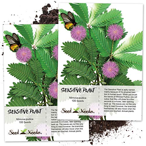 (Seed Needs, Sensitive Plant (Mimosa Pudica) Twin Pack of 100 Seeds each)