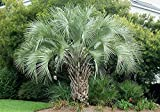 HOT - Butia capitata Cold Hardy Jelly Palm Seeds