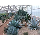 Heirloom Agave Salmiana, Rare Succulent Pulque Century Plant Exotic Garden Seed 15 Seeds