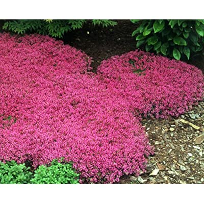 500ct of Creeping Thyme Seeds Scarlet, Perennial Heirloom Groundcover Seeds, Bulk : Garden & Outdoor
