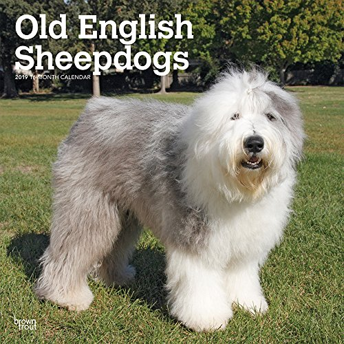 Old English Sheepdogs 2019 12 x 12 Inch Monthly Square Wall Calendar, Animals Dog Breeds
