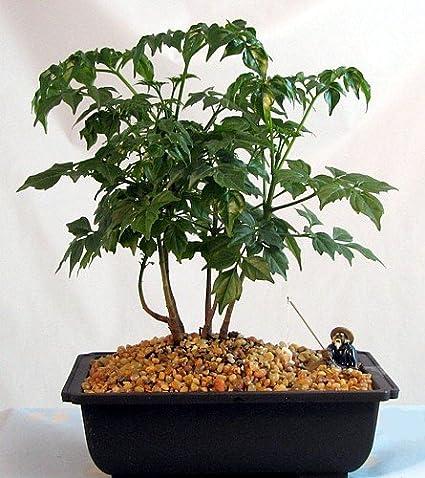 Amazon Com China Doll Bonsai Tree Grove Radermachera Easy To Grow Garden Outdoor