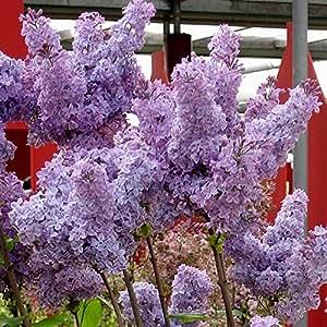 Syringa vulgaris Sensation azul