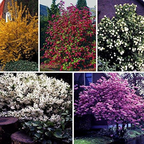 Blütenhecke, bestehend aus je 1 Strauch der Sorte Maiblumenstrauch weiß blühend, Goldglöckchen gelb blühend, Zierjohannisbeere rot blühend, Schneeball weiß blühend, Japanische Zierkirsche rosa blühend