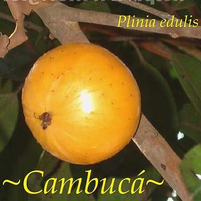 ~CAMBUCA~ Plinia edulis ~Mango Papaya Combo Taste~ Fruit Tree Teeny Plug Starter : Garden & Outdoor