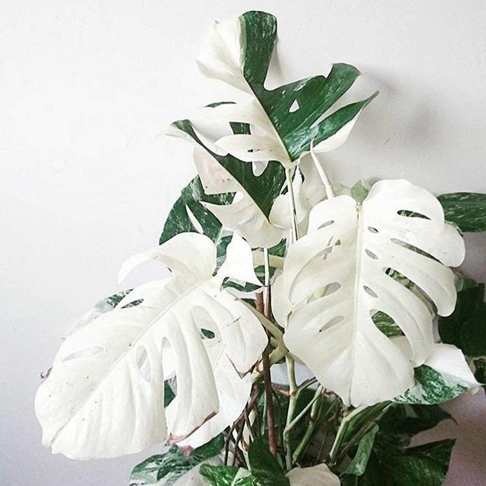 Luo-401XX 100 Piezas De Semillas De Hojas De Tortuga Monstera Blanca, Hermosa Planta De Fácil Cultivo Bonsai Balcón Para La Decoración Del Patio Del Jardín Del Hogar Semillas Monstera