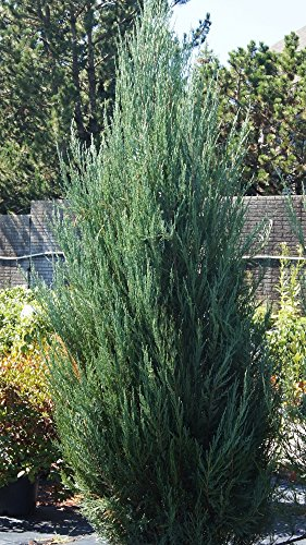 Sandys Nursery Online Juniper 'Skyrocket' Shrub/Evergreen Fast Grower! 4 inch pot with soil.