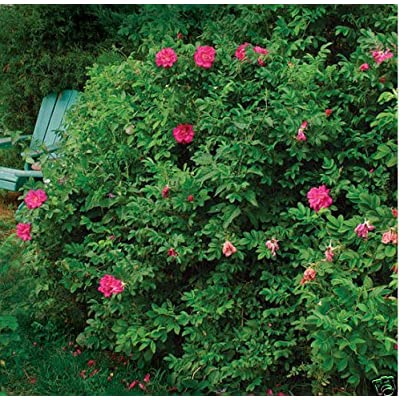 New Pink Rugosa Rose, Rosa rugosa Pink, 30 Seeds (Hardy, Fast, Fragrant, Edible) : Garden & Outdoor