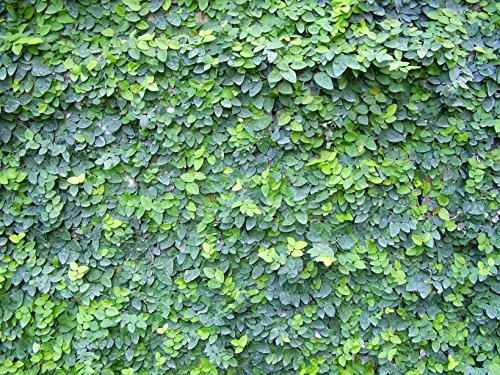 Creeping Fig Vine - Ficus Pumila - 30 Live Fully Rooted Plants - Climbing Ivy by Florida Foliage (Image #6)