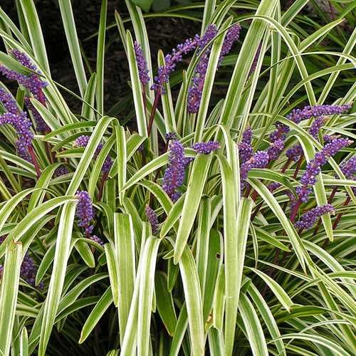 Outsidepride Monkey Grass Seeds - 50 - Seed Ornamental Grass
