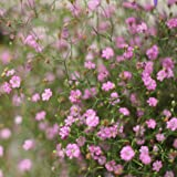 schleierkraut in rosa gypsophila paniculata pink 1. Black Bedroom Furniture Sets. Home Design Ideas