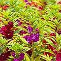 Garden Balsam, Jewelweed seeds - Impatiens balsamina