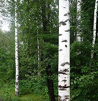 100 Europe White Birch Tree Betulaceae Seeds ~Chris's garden