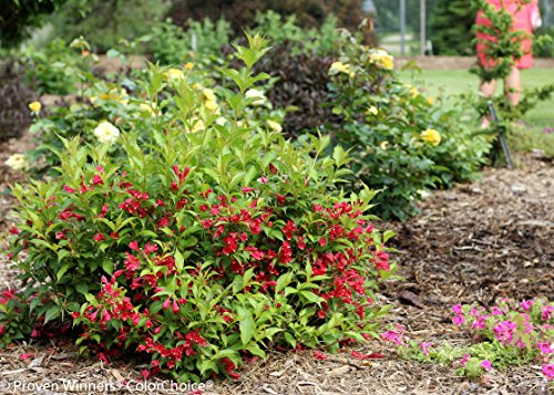 1 Gal. Sonic Bloom Red Reblooming Weigela (Florida) Live Shrub, Red Flowers by Proven Winners (Image #6)