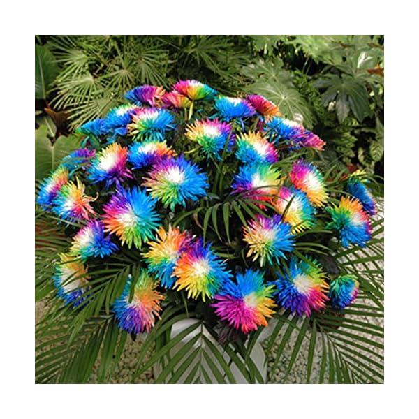 Ncient 20/50/100 Semi Sementi di Margarita di Color Di Arcobaleno Semi di Fiori Rari Fiori Piante per Orto Giardino… 1 spesavip