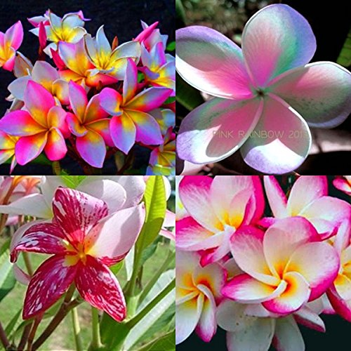 """TOP SELL """"MIXED 4 CUTTING"""" FRAGRANT PLUMERIA'S CUTTING WITH ROOTED 7-12 INCHES REGISTERED TRACK ONLINE 100%GUARANTEE SATISFICATION AND"""